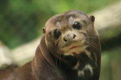 Giant otter. The detail of gazing giant otter stock image