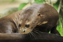 Giant otter detail Stock Photography