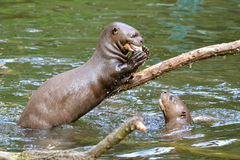 Giant otter eating a fish Stock Images