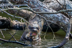 Giant otter eating in the peruvian Amazon jungle at Madre de Dios Peru stock images