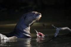 Giant Otter Feeding in Water Stock Images