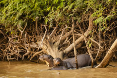 Giant Otter Pair: On the Alert in the River Stock Photography