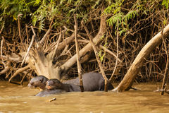 Giant Otter Pair: Resting on a Friend in the Water Royalty Free Stock Images