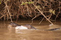 Giant Otter Pair Swimming with Food Royalty Free Stock Photos