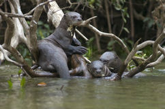 Giant otter Stock Photo