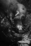 Giant Otter - Pteronura brasiliensis royalty free stock photos