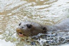 Giant otter (Pteronura brasiliensis) Stock Image