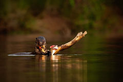 Giant Otter, Pteronura brasiliensis, portrait in the river water with fish in mouth, bloody action scene, animal in the nature hab Stock Image