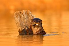 Giant Otter, Pteronura brasiliensis, portrait in the river water level, Rio Negro, Pantanal, Brazil. Wildlife scene from nature. A. Nimal behaviour, Brazil stock images
