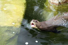 Giant otter Royalty Free Stock Image