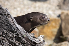 Giant Otter, Pteronura brasiliensis, watching nearby Royalty Free Stock Image
