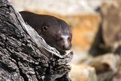 Giant Otter, Pteronura brasiliensis, watching nearby Stock Image