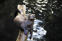 Giant otter Royalty Free Stock Images