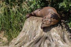 Giant otter Stock Image