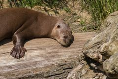 Giant otter Royalty Free Stock Photography