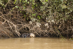 Giant Otter Scratching Head in River Stock Photos