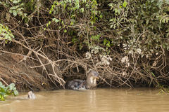 Giant Otter Scratching Neck in River Royalty Free Stock Images
