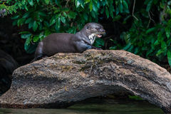 Giant otter standing on log peruvian Amazon jungle at Mad royalty free stock photography