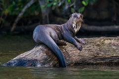 Giant otter standing on log in the peruvian Amazon jungle. At Madre de Dios Peru Royalty Free Stock Photo