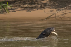 Giant Otter Swimming with Fish in Mouth Stock Photo