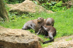 Giant otters Royalty Free Stock Photos