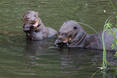Giant otters eating fish. In Manu NP Stock Photo