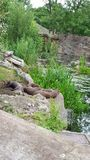 Giant otters. Family Stock Image