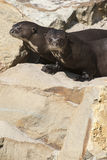 Giant Otters Stock Images