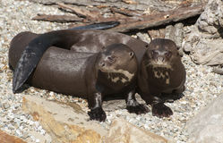 Giant Otters Stock Photos
