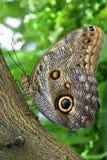 Giant Owl. Tropical Butterfly, Giant Owl, Caligo eurilochus Royalty Free Stock Photo