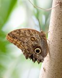 Giant Owl Butterfly Royalty Free Stock Photo