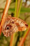 Giant Owl Butterfly Stock Photos
