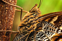 Giant Owl Butterfly. A macro shot of a giant owl butterfly Stock Images