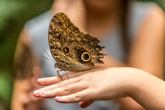 Giant Owl Butterfly Stock Photo