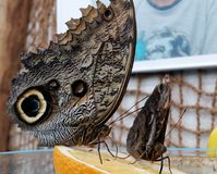 Giant Owl Butterfly. Brown butterfly on the juicy orange. Giant Owl Butterfly Stock Photo
