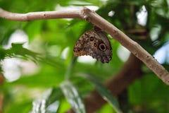 Giant owl butterfly, Caligo memnon Royalty Free Stock Photography
