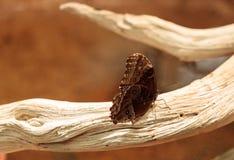 Giant owl butterfly, Caligo memnon Stock Photography