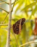 Giant owl butterfly, Caligo memnon Stock Photo