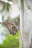 Giant owl butterfly Stock Image