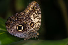 Giant owl butterfly (Caligo memnon) Stock Images