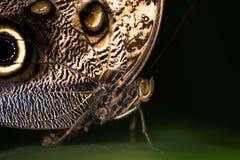 Giant owl butterfly (Caligo memnon) head and thorax Royalty Free Stock Photos