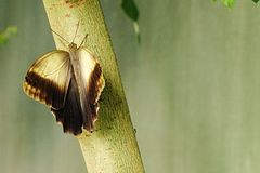 The Giant Owl butterfly (Caligo Memnon) sitting on a branch of young tree Stock Photography