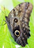 Giant Owl Caligo telamonius memnon stands on green leaf. Stock Photography