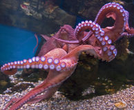 Giant pacific octopus 1 Royalty Free Stock Photos