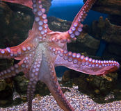 Giant pacific octopus 3 Stock Photo