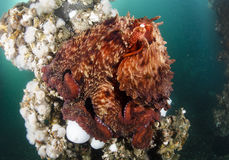 Giant Pacific Octopus. The Giant Pacific Octopus Enteroctopus dofleini inhabit the cold waters of Puget Sound and the Salish Sea. They change colors at will and stock image