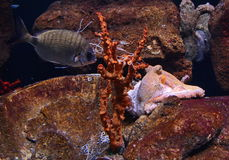 Giant pacific octopus lurking a fish Stock Photos