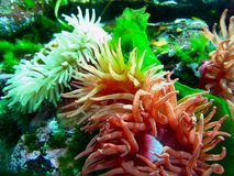 Giant Pacific Sea Anemones, Anthopleura xanthogrammica, Pacific Coast, British Columbia. Group of Giant Green and Sand Rose Pacific Sea Anemones and Sea Lettuce stock image