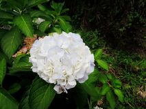 Giant Pale White Ball-shape Hydrangea Stock Image