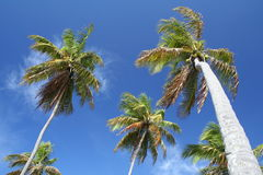 Giant palm trees Stock Images